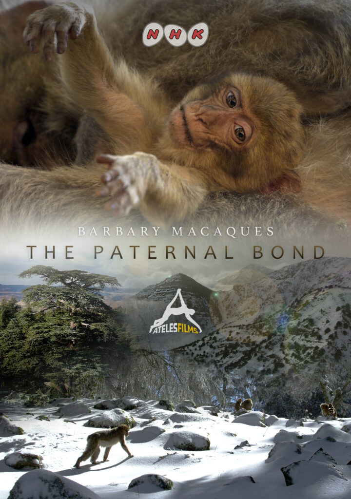 Atlas Mountain Barbary Macaques The Paternal Bond NHK